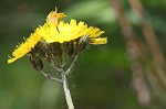 Meadow hawkweed