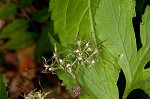 Eastern waterleaf