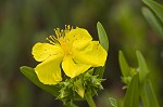 Roundpod St. Johnswort