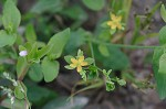 Clasping St. Johnswort