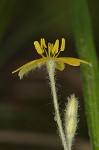 Common yellowstar grass