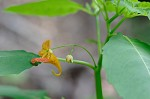 Jewelweed