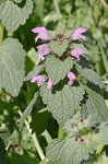 Purple deadnettle