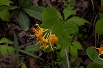Yellow honeysuckle