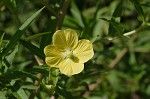 Carolina primrose willow