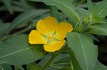 Peruvian primrose-willow