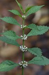 Virginia water horehound