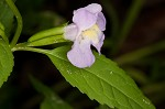 Sharpwing monkeyflower