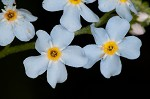 True forget-me-not
