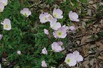 Showy evening-primrose
