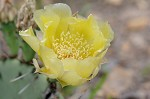 Common pricklypear