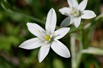 Pyrenees Star of Bethlehem