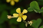 Great yellow woodsorrel
