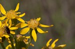 Hairy groundsel