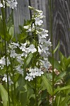 Lowland beardtongue