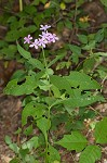 Largeleaf phlox