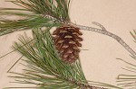 Shortleaf pine