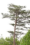 Table mountain pine