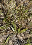 Narrowleaf silkgrass