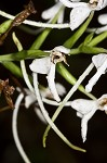White fringeless orchid