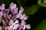 Small purple fringed orchid&nbsp;<BR>Lesser purple fringed orchid