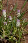 Maryland milkwort