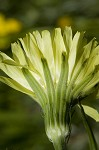 Carolina desert-chicory