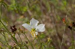 White meadowbeauty