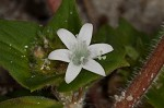 Florida pusley&nbsp;<BR>Rough Mexican clover