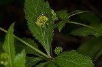 Small's blacksnakeroot
