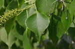 Tallowtree&nbsp;<BR>Chinese tallow tree
