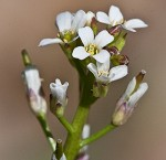 Virginia winged rockcress