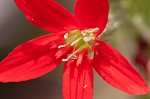 Royal catchfly