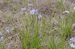 Needle-tip blue-eyed-grass