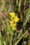 Wand goldenrod