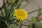 Spiney sowthistle
