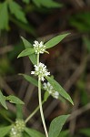 Smooth galse buttonweed