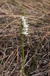 Giantspiral lady's tresses
