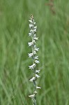 Spring lady's tresses