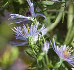 Willowleaf aster
