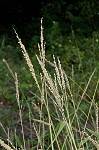 Texas signalgrass
