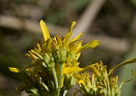 Yellow crownbeard