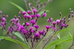 Giant ironweed