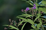 New York ironweed