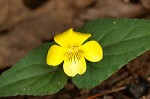 Halberdleaf yellow violet
