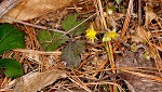 Appalachian barren strawberry